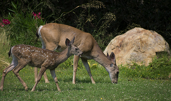 Deer at Lupin Lodge, photo by M. LaFreniere