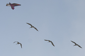 kite and pelicans flying at Capitola, photo by M. Lafreniere, all rights reserved, Cactus Catz