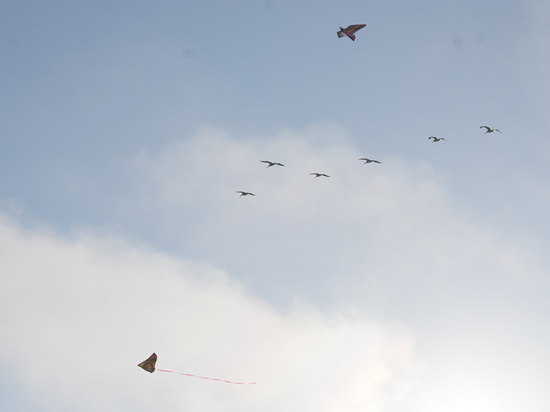 kites and pelicans flying at Capitola, photo by M. Lafreniere, all rights reserved, Cactus Catz