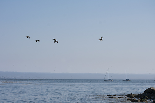 pelicans flying at Capitola, photo by M. Lafreniere, all rights reserved, Cactus Catz