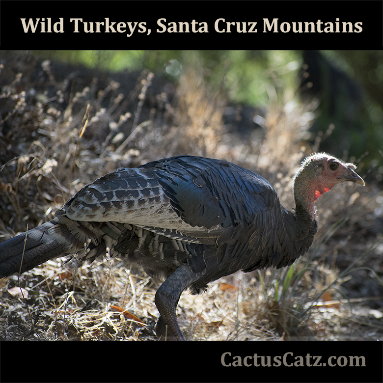 Wild turkeys in Santa Cruz Moutains by M. LaFreniere, all rights reserved, CactusCatz.com