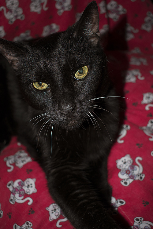 Midnight, my black cat, on a red quilt with a cat pattern,photo by M. LaFreniere, all rights reserved, CactusCatz.com