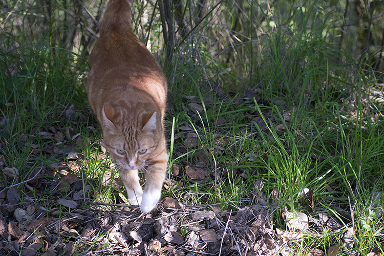 an orange cat walking in the Santa Clara Mountain forest at Lupin Lodge, photo by M. LaFreniere, Cactus Catz