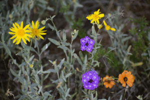 wildflowers growing in my garden, photo by M. LaFreniere, CactusCatz