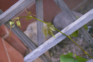 new grape tendrils, photo by M. LaFreniere, CactusCatz